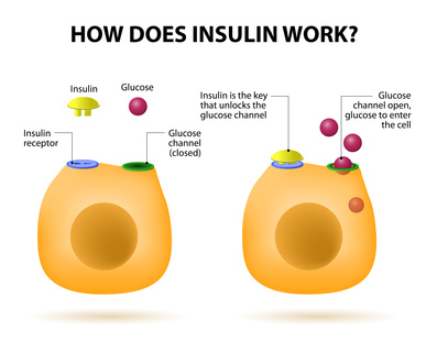How does insulin work. Insulin regulates the metabolism and is the key that unlocks the cell's glucose channel